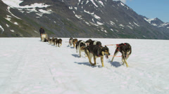 Alaskan Malamute dogs used for high endurance, USA Stock Footage