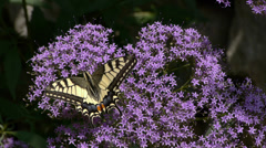 Swallowtail butterfly Stock Footage