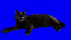 Closeup of a handsome black cat isolated. Stock Footage