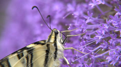 Closeup of butterfly Podalirius Stock Footage