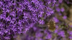 Dipterous bombyliidae Stock Footage