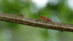 Predatory Stink Bug (Apoecilus cynicus) 1 Stock Footage