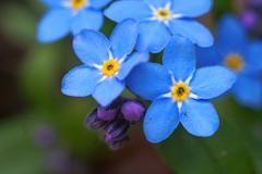 Blue flowers forget-me shot macro Stock Photos