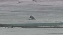 Polar Bear Ice Swim Coastline Stock Footage