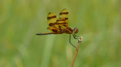 Halloween Pennant (Celithemis eponina) Dragonfly - Male 1 Stock Footage