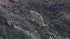Polar Bear Trails Coastline Stock Footage