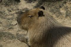 Sleeping Capybara Photo - stock photo