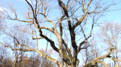The very old oak tree Bartek, the most famous tree in Poland, c.650 years old 4 Stock Footage