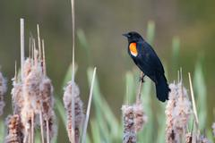 male red-winged blackbird in a cat-tail - stock photo