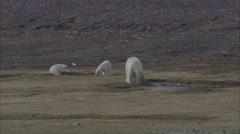 Polar Bears Norwegian Lake Stock Footage