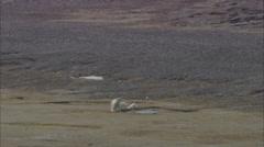 Polar Bears Scavenging Norway Polar Stock Footage