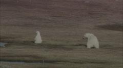 Mountains Norway Polar Bears Stock Footage