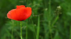 Red common poppy flower on meadow. Stock Footage