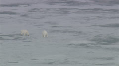 Polar Bears Scavenging Norway Polar Stock Footage