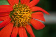Stock Photo of mexican sunflower