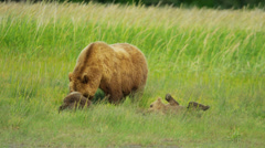 Young Brown Bear cubs relaxing with female adult Wilderness grasslands - stock footage