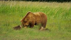 Female Bear with cubs feeding on summer vegetation,  Alaska, USA - stock footage
