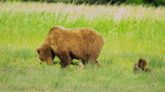Female Bear with cubs feeding on summer vegetation Wilderness area - stock footage