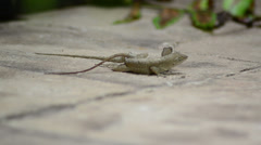 Cuban brown anole (anolis sagrei) reproduction time male and female split Stock Footage