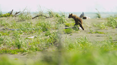 Young Brown Bear cubs playing in summer time, Yosemite, USA Stock Footage