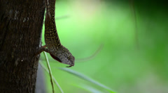 Cuban brown anole (anolis sagrei) close up shows his red dewlap while standin Stock Footage