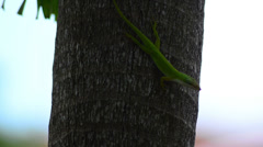 Carolina anole (anolis carolinensis) standing on a palm trunk 01 Stock Footage