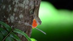 Cuban brown anole (anolis sagrei) standing on a palm trunk over the green unf Stock Footage