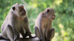 Macaque monkeys sitting in park, Bali, Indonesia Stock Footage