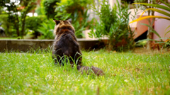 Maine Coon black tabby cat with green eye sat down and chews the grass. Macro Stock Footage