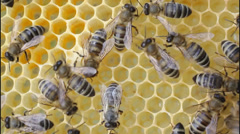 Bees working in hive - stock footage