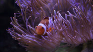 Stock Video Footage of Colorful Nemo Clown Fish in Anemone
