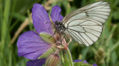 Black-veined white butterfly Stock Footage