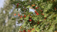 Stock Video Footage of Rowan tree with red berry in the wind