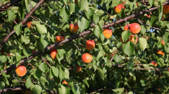 Apricot fruit at tree in orchard Stock Footage