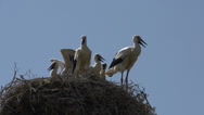 Stock Video Footage of Group young Storks in a nest