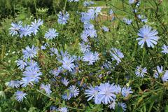 blue flowers of cichorium - stock photo