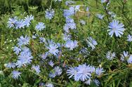 Stock Photo of blue flowers of cichorium