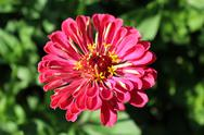 Stock Photo of zinnia zed beautiful flower