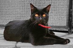 Black cat amber eyes Stock Photos