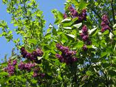 Stock Photo of bush of a lilac