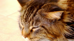 Maine Coon black tabby cat with green eye lying on the floor. Close up macro Stock Footage