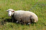 Stock Photo of white sheep grazing on the grass
