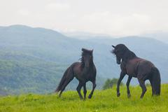 Stock Photo of two black stallions play on a summer pasture