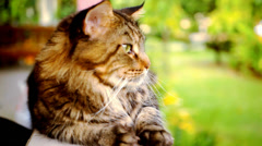 Maine Coon cat macro video with motion and approximation Stock Footage