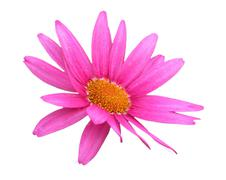 purple daisy flower isolated on white - stock photo