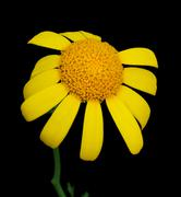 yellow marguerite - stock photo