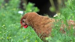 Chickens on household yard Ecology 4k Stock Footage