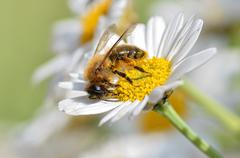 Honey bee feeding on anthemis flower Stock Photos