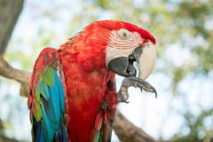 Blue and Red Macaw Parrot - stock photo