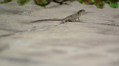 Cuban brown anole (anolis sagrei) reproduction time female tired after interc Stock Footage